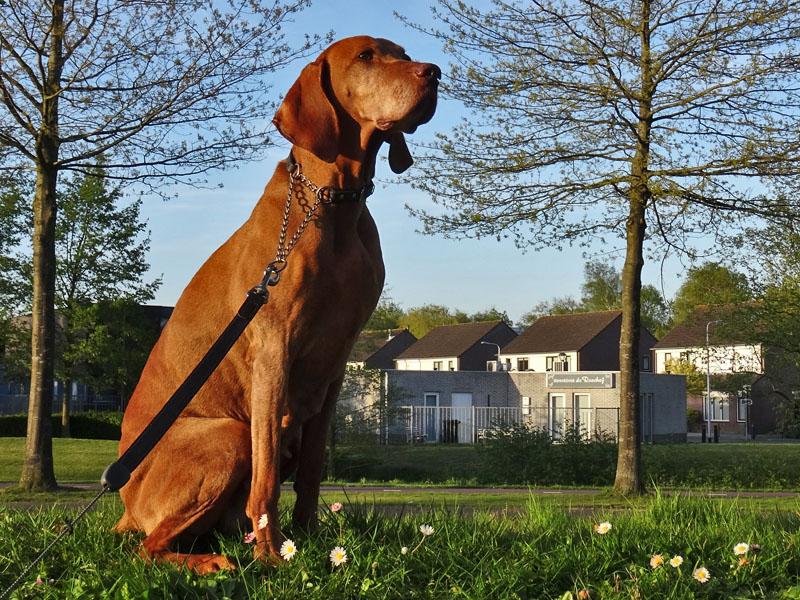 Misza, de hond van Wil en Mariëlle posseert.
